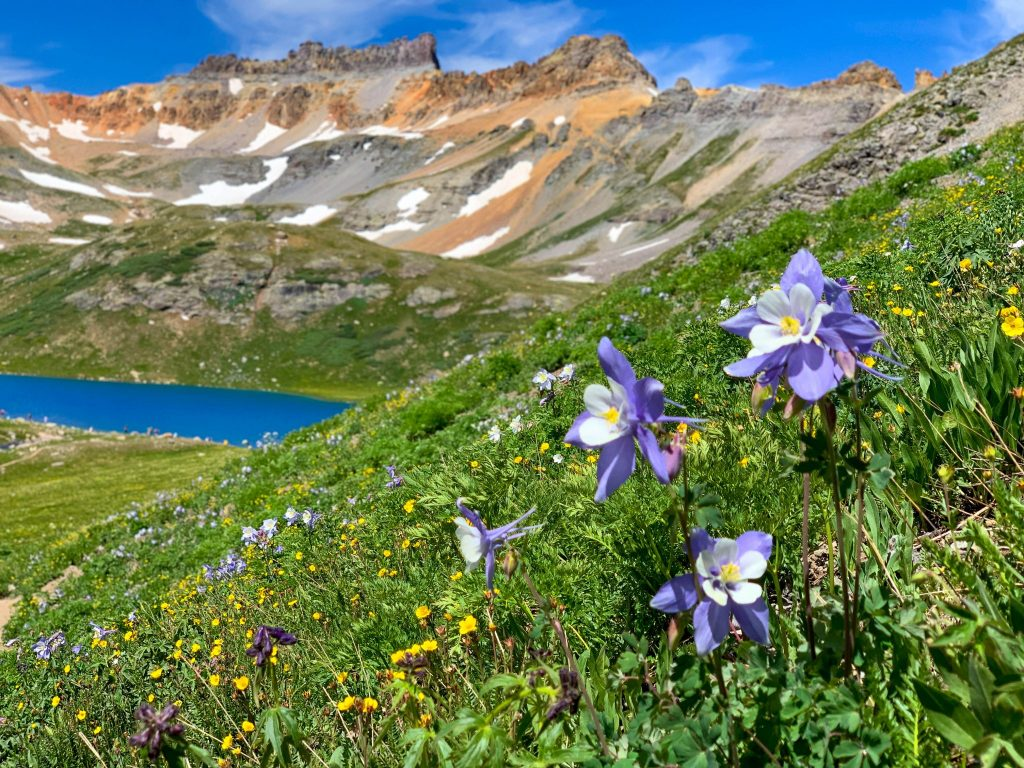 Wildflower at Ice Lake, Colorado